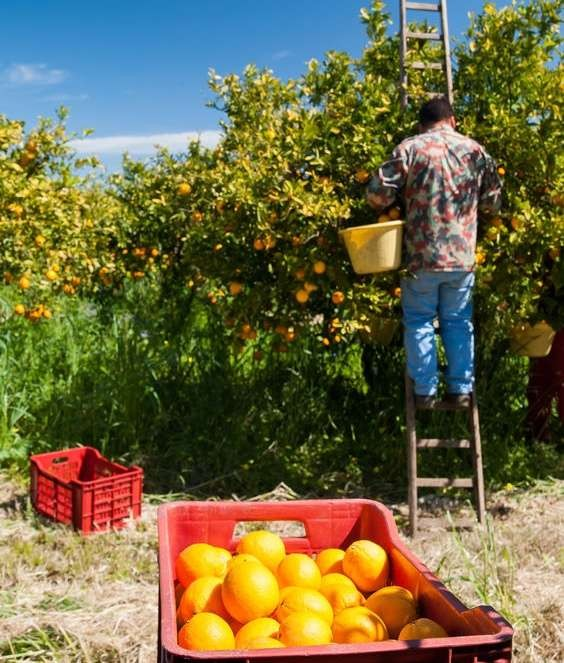 Red plastic fruit box full of oranges and pickers at work